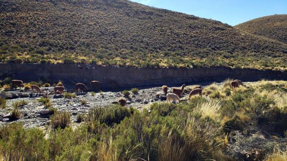 Llama grazing on the road to Aparzo