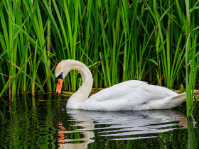 A swan wading in the marshes
