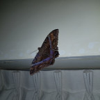 Black Witch Moth